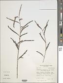 view Chamaecrista nictitans var. glabrata (Vogel) H.S. Irwin & Barneby digital asset number 1