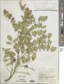 view Sophora affinis digital asset number 1