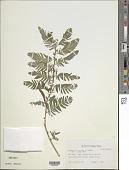 view Chamaecrista nictitans (L.) Moench digital asset number 1