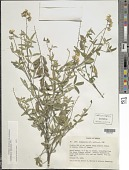 view Crotalaria mollicula Kunth digital asset number 1