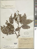 view Dicorynia uaupensis Spruce ex Benth. digital asset number 1