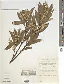 view Daviesia laxiflora (J.H. Willis) Crisp digital asset number 1