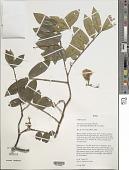 view Swartzia macrostachya var. kuhlmannii (Hoehne) R.S. Cowan digital asset number 1