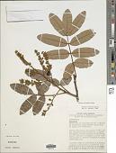 view Ormosia excelsa Benth. digital asset number 1