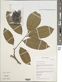 view Swartzia sumorum Ant. Molina digital asset number 1