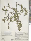 view Haematoxylum campechianum L. digital asset number 1