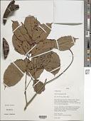 view Swartzia polyphylla DC. digital asset number 1