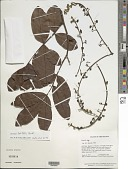 view Swartzia latifolia Benth. digital asset number 1
