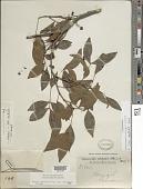 view Chamaecrista ensiformis (Vell.) H.S. Irwin & Barneby var. ensiformis digital asset number 1