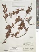 view Chamaecrista glandulosa var. andicola digital asset number 1
