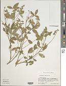 view Crotalaria sp. digital asset number 1