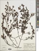 view Pultenaea trinervis J.M. Black digital asset number 1