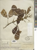 view Ormosia xylocarpa Merr. & L. Chen digital asset number 1