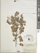 view Chamaecrista zygophylloides var. deamii digital asset number 1