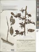 view Barnebydendron riedelii (Tul.) J.H. Kirkbr. digital asset number 1