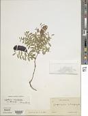 view Gleditsia microphylla digital asset number 1