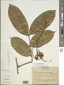 view Swartzia apetala var. blanchetii (Benth.) R.S. Cowan digital asset number 1