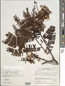 view Chamaecrista adiantifolia var. pteridophylla (Sandwith) H.S. Irwin & Barneby digital asset number 1