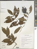 view Swartzia nicaraguensis (Britton & Rose) Standl. digital asset number 1