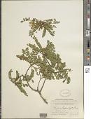 view Sophora chrysophylla (Salisb.) Seem. digital asset number 1