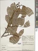 view Dicorynia guianensis Amshoff digital asset number 1