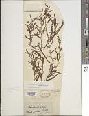 view Chamaecrista nictitans var. aspera (Muhl. ex Elliot) H.S. Irwin & Barneby digital asset number 1