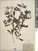 view Baptisia lanceolata digital asset number 1