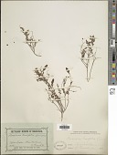 view Bossiaea buxifolia A. Cunn. digital asset number 1