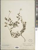 view Crotalaria rotundifolia var. vulgaris digital asset number 1