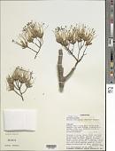 view Delonix floribunda (Baill.) Capuron digital asset number 1