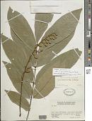 view Swartzia sp. nov. aff. grandifolia digital asset number 1
