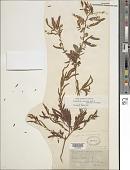 view Chamaecrista nictitans var. mensalis (Greenm.) H.S. Irwin & Barneby digital asset number 1