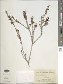 view Dillwynia ericifolia Sm. digital asset number 1