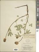view Trifolium eriocephalum Nutt. digital asset number 1