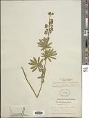 view Lupinus caudatus Kellogg x L. laxiflorus digital asset number 1