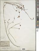 view Anthyllis gerardii L. digital asset number 1