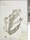 view Indigastrum costatum subsp. theuschii (O. Hoffm.) Schrire digital asset number 1