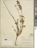 view Lupinus albifrons Benth. digital asset number 1