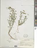 view Lotus tenuis Waldst. & Kit. digital asset number 1