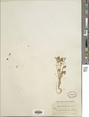 view Trifolium xerocephalum Fenzl digital asset number 1