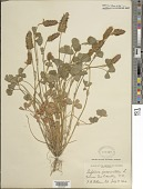 view Trifolium incarnatum L. digital asset number 1
