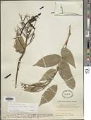 view Callerya reticulata (Benth.) Schot digital asset number 1