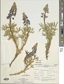 view Lupinus holmgrenanus C.P. Sm. digital asset number 1