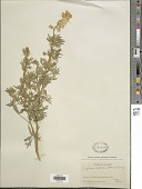 view Lupinus decumbens Torr. digital asset number 1