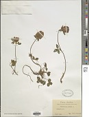 view Trifolium repens L. digital asset number 1