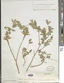 view Mundulea sericea (Willd.) A. Chev. digital asset number 1