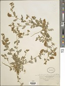 view Dalea mollis Benth. digital asset number 1