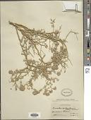 view Psorothamnus polydenius (Torr.) Rydb. var. polydenius digital asset number 1