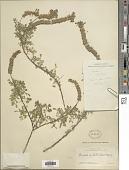 view Dalea obovatifolia Ortega var. obovatifolia digital asset number 1