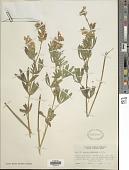view Lupinus alpestris A. Nelson digital asset number 1
